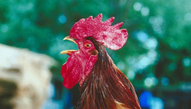 Woman Killed By Cock In Freak Accident